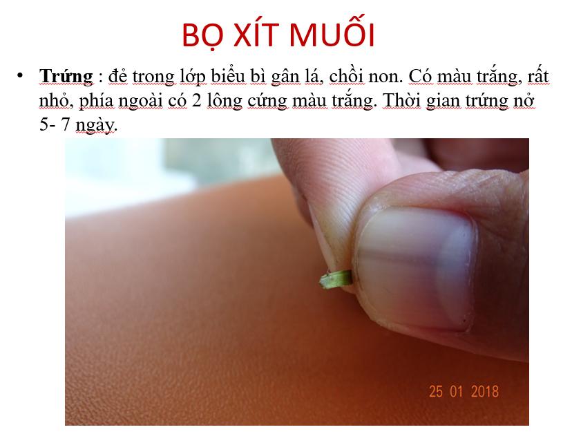 Quá trình sinh trưởng bọ xít muỗi