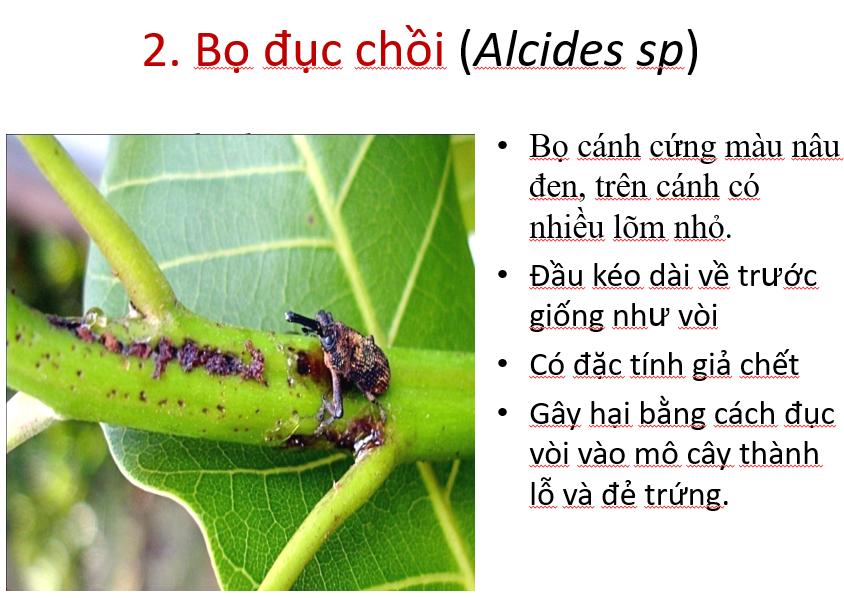 Thông tin về bọ đục chồi